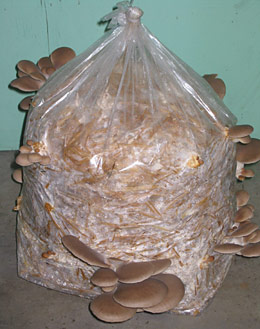 Oyster Mushroom Cultivation Directions - Green Mountain Mycosystems